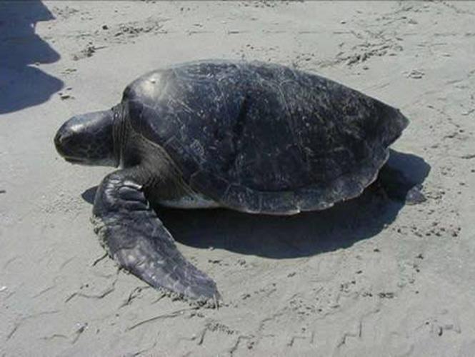 Reportan muerte masiva de tortugas en Guerrero