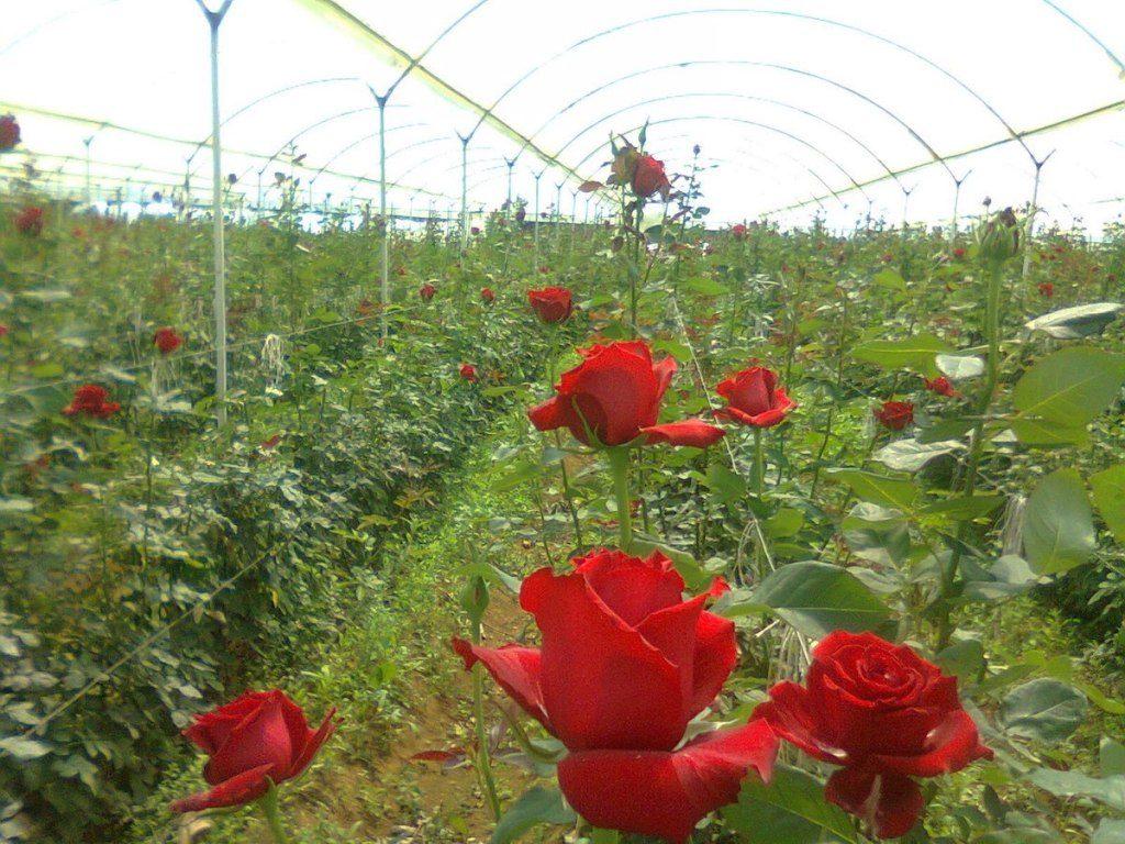 Producción de flores en Jalisco genera mercado interno de 800 mdp