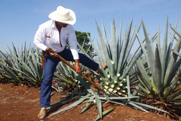 Producción, venta y exportación de Tequila a la alza en medio de pandemia de Covid 19