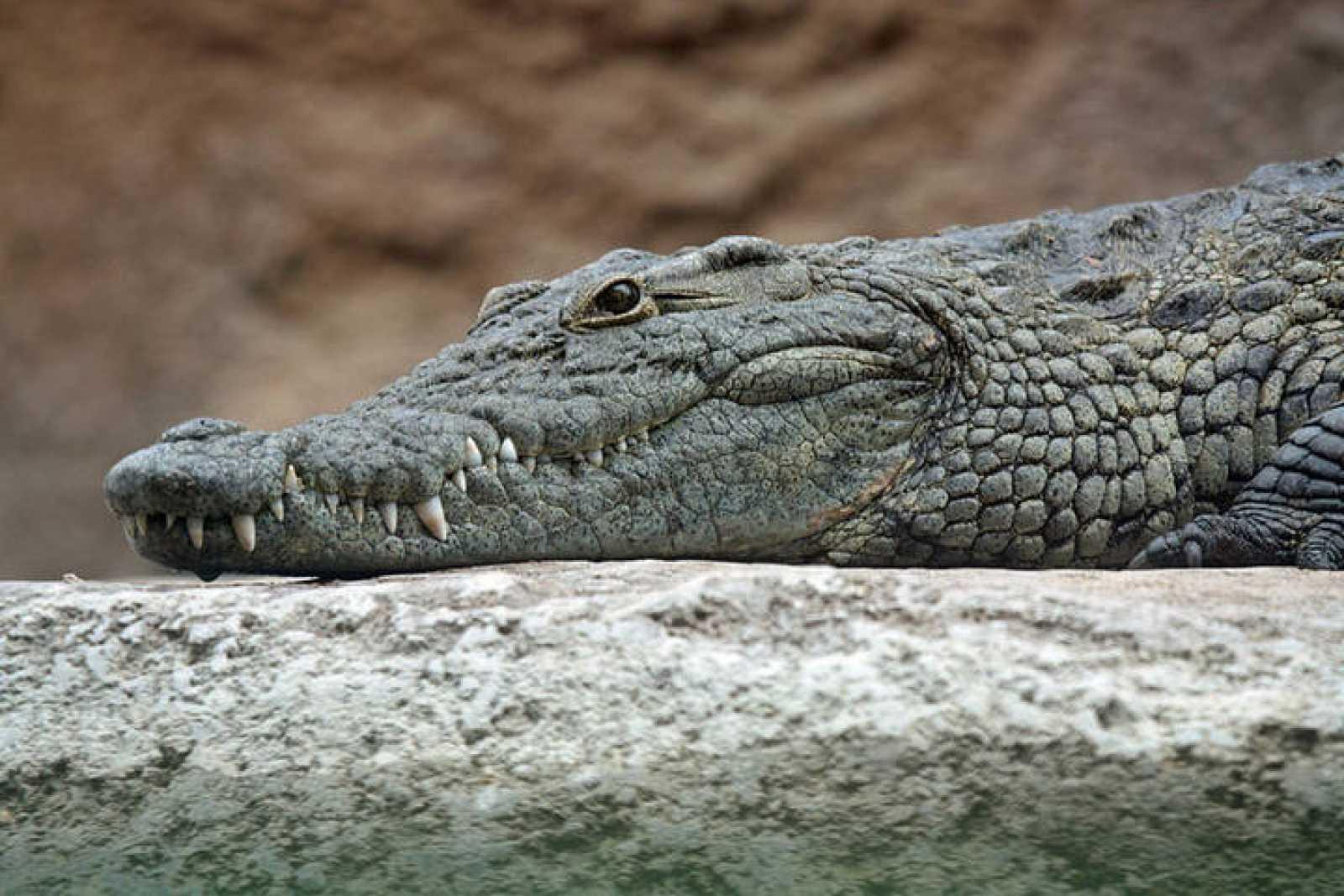 Atropellan y matan a otro cocodrilo; responsable huye