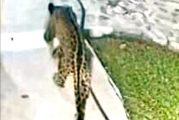 Se registra extraordinario avistamiento de jaguar en PV
