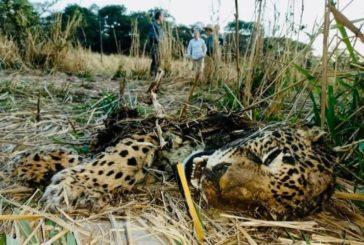 Investiga Profepa asesinato de jaguar en la Sierra de Mascota