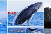 ¡Hasta la vista, babys! Termina temporada de avistamiento de ballenas en Riviera Nayarit