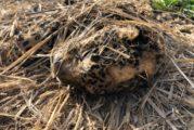 Investiga FGR muerte de jaguar ocurrido en el municipio de Mascota