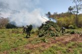 Destruyen mega plantío de marihuana en Tequila