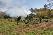 Destruyen plantíos de marihuana en Tomatlán