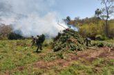 Destruyen más de 24 mil plantas de marihuana en el municipio de Tomatlán