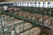 Cientificos advierten acerca de posible nuevo virus pandémico, ahora en cerdos