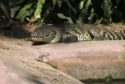 UMA Cipactli, más de 20 años de conservación de reptiles
