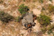 Se registra misteriosa masiva muerte de 350 elefentes en Botswana