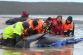 Al menos 380 ballenas varadas mueren en bahía de Tasmania