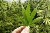 Cannabis, alternativa sustentable para materias primas