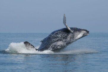Concluye periodo de avistamiento de ballenas