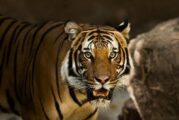 Un tigre siberiano mata a un empleado en un parque de animales en Sudáfrica