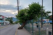 """Propondrá regidor solución al árbol que """"estorba"""" en Macro Plaza"""