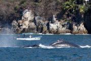 Evalúan impacto del turismo en las ballenas jorobadas